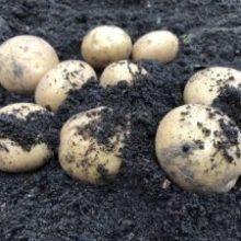Värna våra västsvenska potatisodlingar