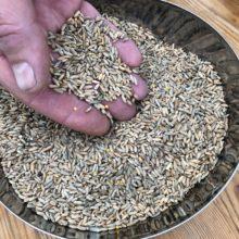 Om odling av enkorn, virvelkvarnar och långjästa surdegsbröd