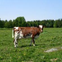 Ensilagets kvalitet påverkar mjölkkvaliteten