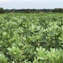 Satsning på produktion och förädling av grönskördade bönor